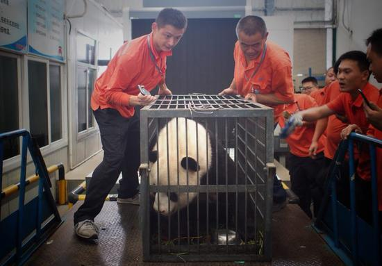 'Mistreated' giant panda moved from Wuhan to Sichuan