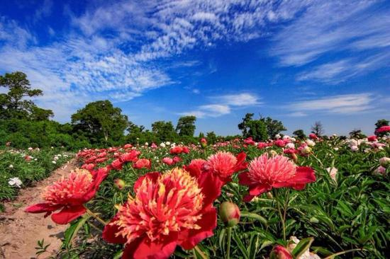 Peony flowers are in full bloom in the peony park of Baoma village at the foot of Changbai Mountain, Jilin province.  (Photo by Sun Mingsheng/For chinadaily.com.cn)