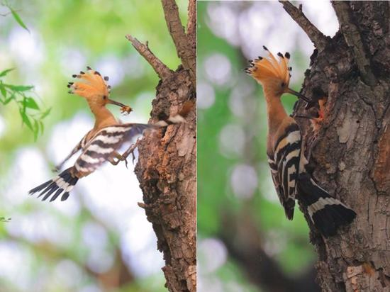 Mother hoopoe feeds baby