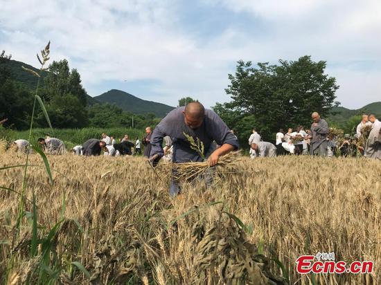 Shaolin monks harvest wheat