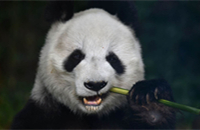 Mexico City's Chapultepec zoo is home to the oldest pandas outside China