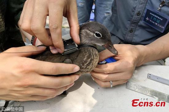 Mandarin duck banding starts in Hangzhou