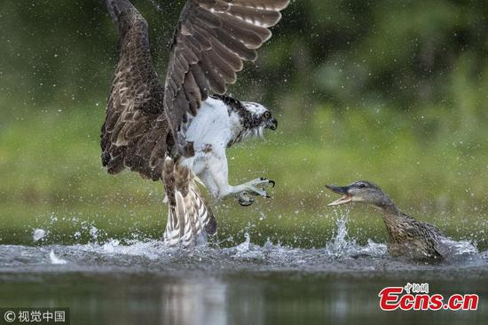Photos show a duck taking on an osprey
