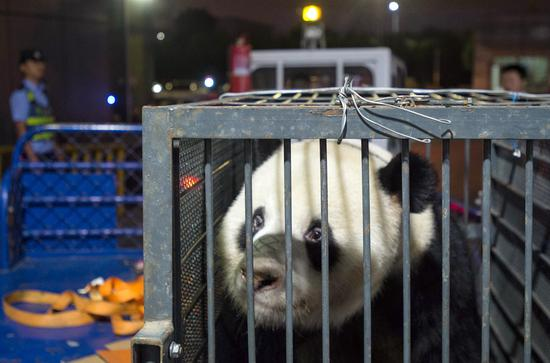 Weiwei, a panda allegedly mistreated at Wuhan Zoo in Hubei Province, arrives at Chengdu Shuangliu International Airport in Sichuan Province on Wednesday. It will receive further checkups at a breeding base in Sichuan. (HU JIUSI/FOR CHINA DAILY)