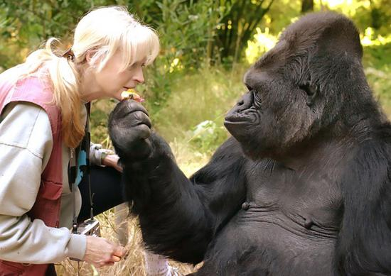 Dr. Penny Patterson and Koko. (Photo/Gorilla Foundation)