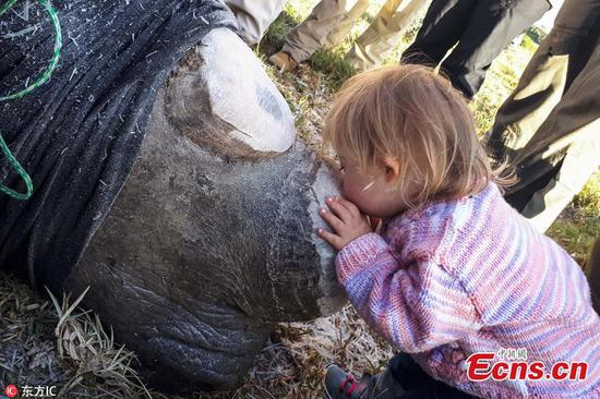 Touching moment: little girl kisses dehorned rhino