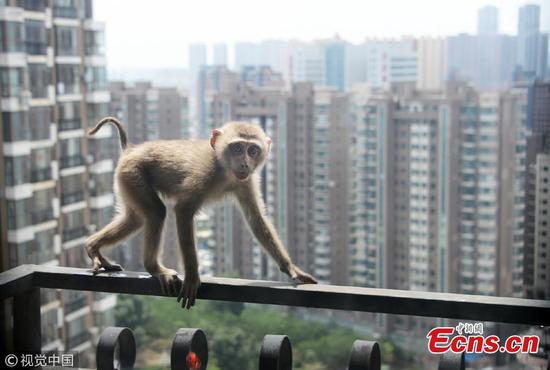 Macaque monkey wandering on high buildings rescued in Shenyang