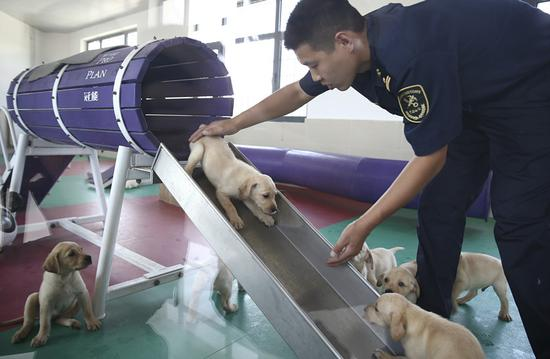 A trainer works with 5-week-old Labrador puppies at the General Administration of Customs' anti-smuggling dog base in Beijing on Thursday. (ZOU HONG/CHINA DAILY)