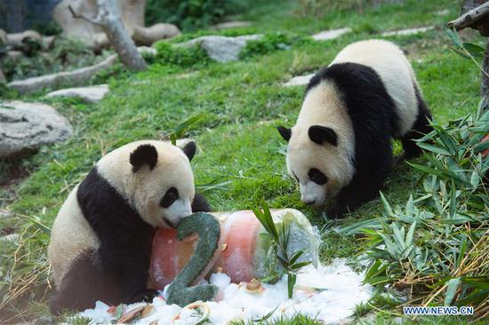 Twin panda brothers celebrate 2nd birthday in Macao