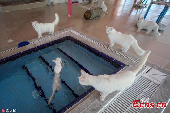 爱水的土耳其猫在游泳池里上游泳课