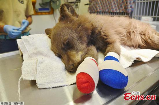 Bear cub, injured by Colorado wildfire, receives treatment