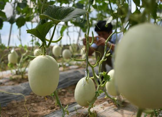 'Space fruits' on display in Ningxia