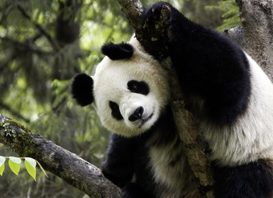 A  giant panda plays on the tree.  (Photo: WWF UK / For China Daily)
