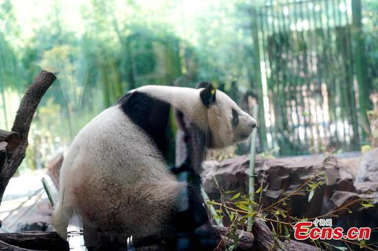 Giant panda becomes superstar at Berlin Zoo