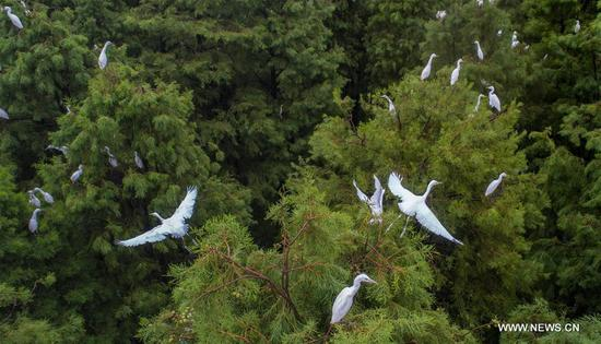 Dahantang Reservoir in Anhui habitat for thousands of egrets