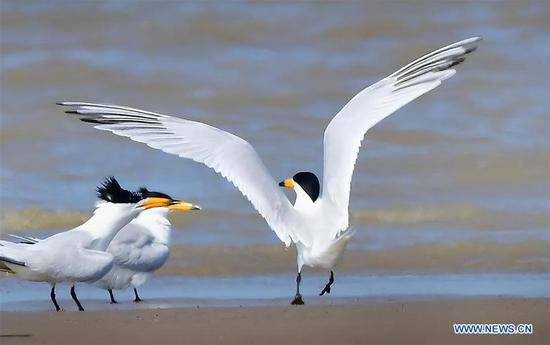 Chinese crested terns seen in Fujian