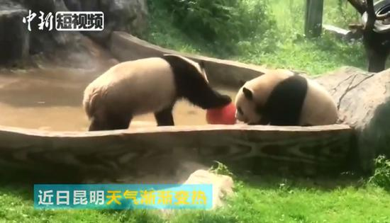 Pandas play in water to beat the heat