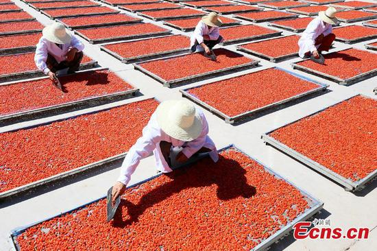 Wolfberry season hits Zhangye