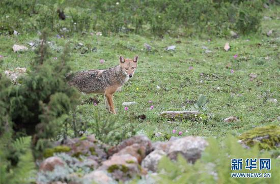 Photo of Golden Jackal captured in Tibet