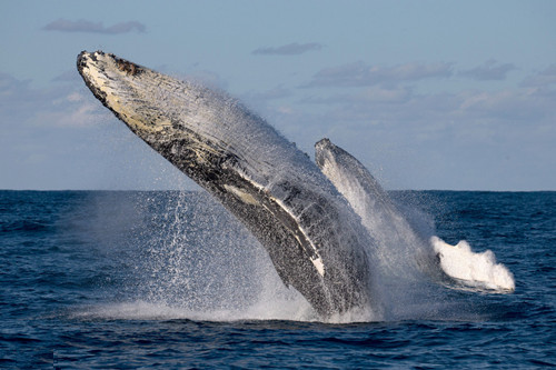Migrating humpback whales show off in rare double breach