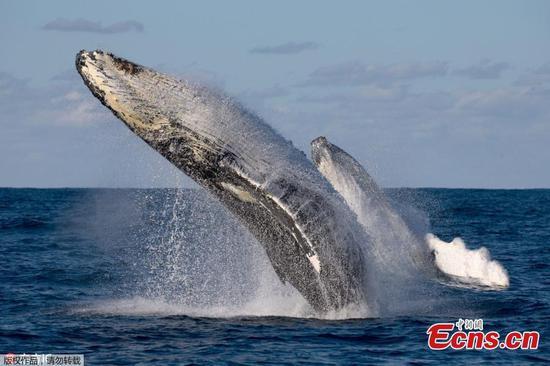 座头鲸的迁徙在罕见的双重违规中炫耀