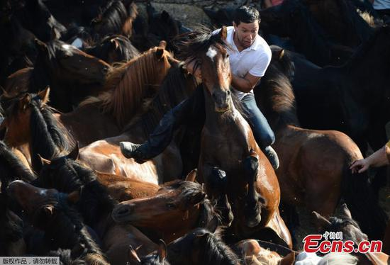 Wild horses at traditional Spanish festival