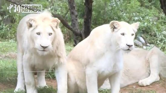 Rare white lions from South Africa debut at Jinan