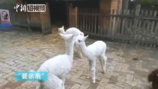 Meet the first huacaya alpacas born on Qinghai-Tibet Plateau
