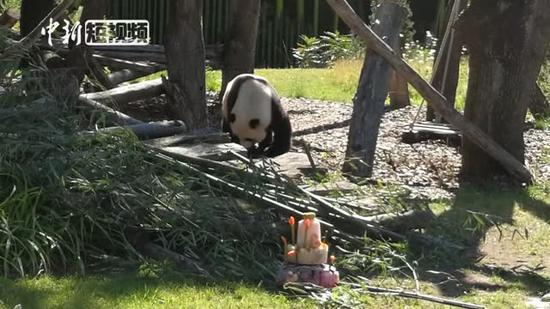 Panda celebrates 8th birthday in Berlin
