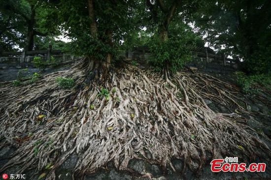 Amazing Banyan tree roots on Qing Dynasty wall