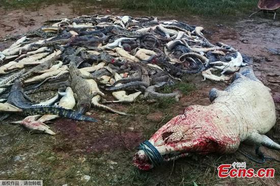 Indonesian villagers kill 292 crocodiles in revenge attack