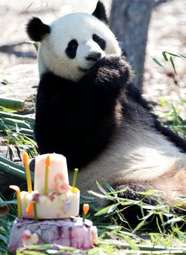 Panda Jiaoqing celebrates 8th birthday in Berlin