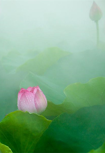 Blooming lotus flowers draw tourists to Xiongan
