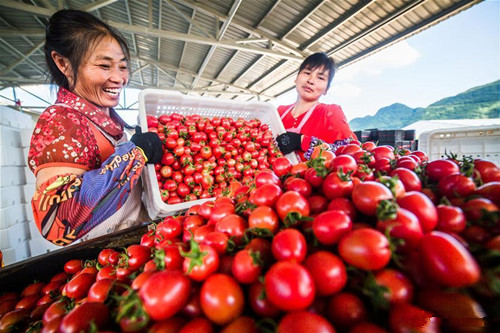 Farmers busy collecting cherry tomatoes during harvest season in Guizhou