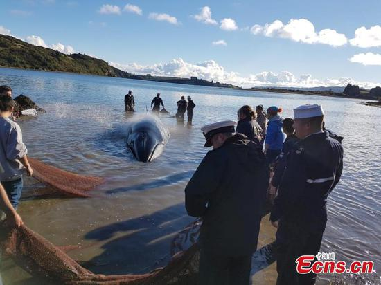 Whale stranded on Chilean island successfully returned to sea