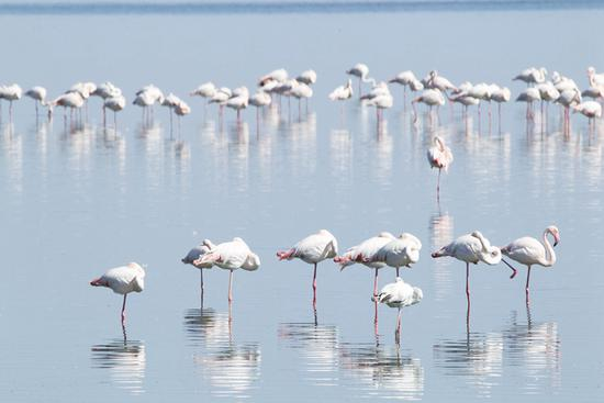 Flamingos rest in a lake near Walvis Bay in Namibia