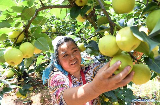 Pears harvested in southwest China's Yunnan