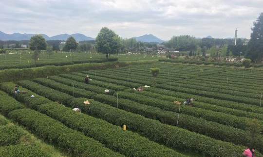 Tea turns remote village into thriving tourist attraction