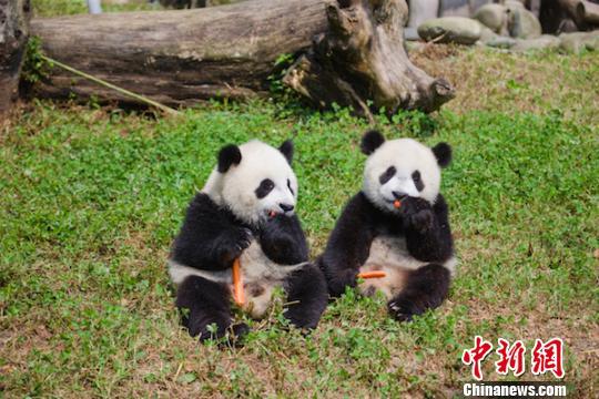 Two panda cubs. (Photo: China  News Service/He Bo)
