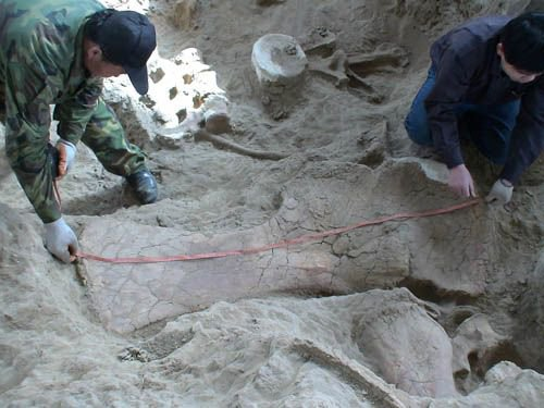 Scientists measure a Jurassic shoulder blade. (Photo/Courtesy of Xu Xing)