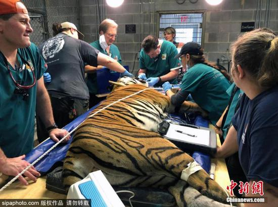 Tio the tiger gets dental care in Carolina