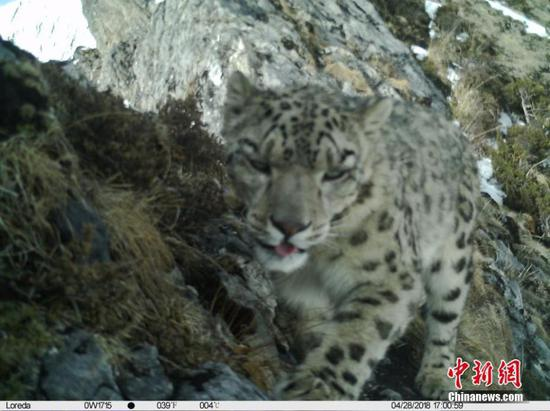 Image shows first leopard in 30 years in Wolong nature reserve