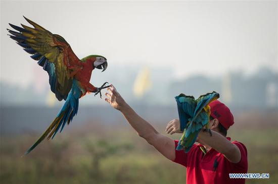 Macaw parrots practice free fly in Indonesia
