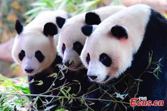 Panda triplets now four years old