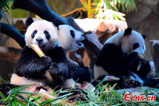 Panda triplets Mengmeng, Shuaishuai and Kuku celebrate their fourth birthday in Chimelong Safari Park, Guangzhou City, Guangdong Province, July 29, 2018. The three bears are the world's first healthy panda triplet cubs. (Photo: China News Service/Chen Jimin)