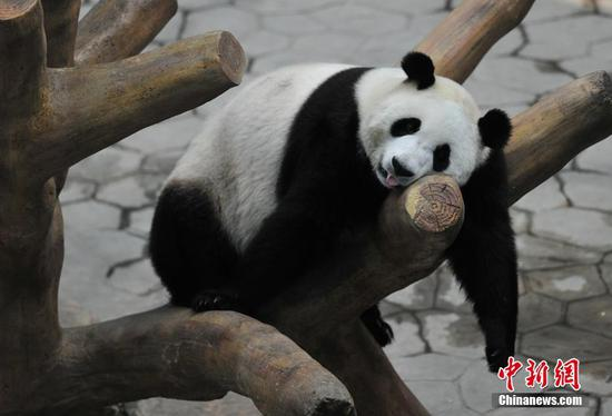 Pandas in Shenyang stay cool with air conditioner