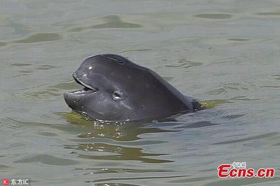 Poyang Lake home to hundreds of Yangtze finless porpoises