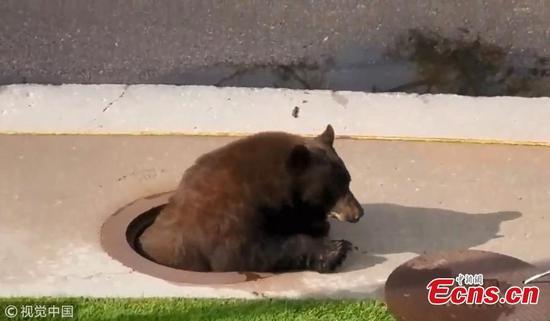 熊陷在科罗拉多排水沟从人孔逃脱