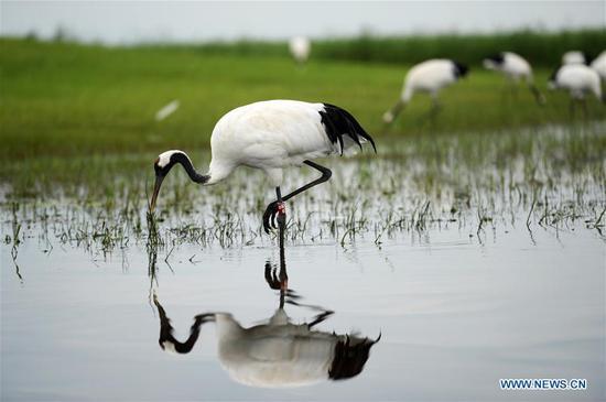 Zhalong National Nature Reserve in Qiqihar, Heilongjiang