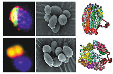 Natural cells of a yeast strain (top left and center) look similar to the modified strain (bottom left and center) in these photos. The natural strain, however, has 16 chromosomes (top right), while the modified strain has a single, fused chromosome (bottom right). (Photo/China Daily)